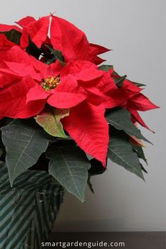 Complete guide to Poinsettia care, including how to keep it blooming for longer, and what to do after Christmas when the blooms fade.
