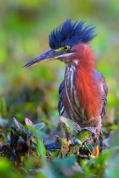 Green Heron by Greg Lavaty