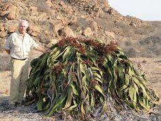 Brian Huntley standing beside a Welwitschia in the Angolan province of Namibe which is probably over 2000 years old.
