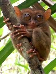 Tarsiers are primates (a group including lemurs, monkeys, apes and humans) found only in the islands of Southeast Asia. The majority of Tarsier species are now endangered or threatened, and some are designated critically endangered. Animals And Pets, Baby Animals, Funny Animals, Cute Animals, Monkey Wallpaper, Animal Wallpaper, Beautiful Creatures, Animals Beautiful, Interesting Animals