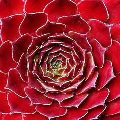How did you interact and connect with nature today? Red Succulents, Growing Succulents, Planting Succulents, Planting Flowers, Sempervivum, Echeveria, Terrariums, Horticulture, Cactus Plants