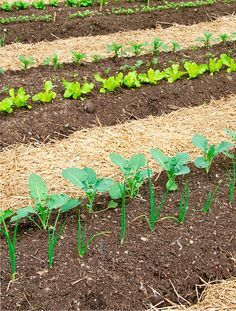 If you're thinking about starting home vegetable garden ideas for small spaces or raised vegetable garden layout on backyard. here are some ideas for you. Small Vegetable Gardens, Home Vegetable Garden, Small Space Gardening, Fruit Garden, My Secret Garden, Garden Care, Growing Vegetables, Garden Planning, Garden Paths
