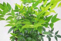 Options Nandina Plant, Lemon Lime Nandina, Engraved Pocket Knives, Groomsmen Proposal, Porch Decorating, Garden Beds, Evergreen, Craft Supplies, Bloom