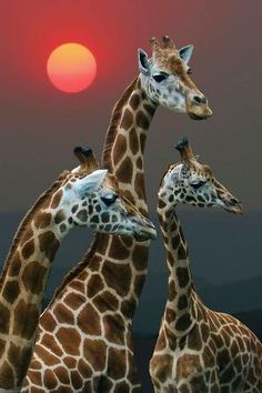 Sunset with Giraffes - Kenya by angela