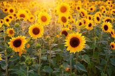 Gardening Magazines, Gardening Tips, Garden Guide, Garden Tools, Sunflower Fields, Edible Garden, Growing Plants, Vegetable Garden, Shrubs