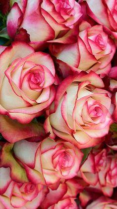 Popular roses, Bi-color roses, Malibu rose #Roses #wholesale roses  #GardeningFlower