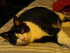My Cookie girl! Tuxedo Cat By Barb Cressy