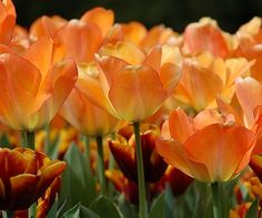 """Tulip Bulbs (Darwin Hybrid)  -  by: Eden Brothers  -  color: """"Daydream"""""""