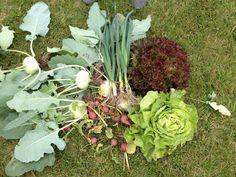 Was wir alles schon geerntet haben Cabbage, Vegetables, Food, Harvest Season, Essen, Cabbages, Vegetable Recipes, Meals, Yemek