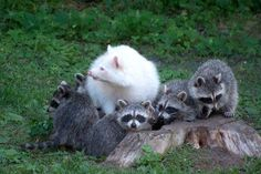Albino Raccoon Photo by Rick Stockwell — National Geographic Your Shot