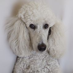 Beautiful poodle!!!!!!!!!!! by Leslie Hall Brown