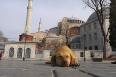Tagged stray dog on the streets of Istanbul.  Handsome boy taking a mid morning nap outside the Hagia Sophia.