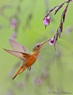 Cinnamon Hummingbird -- Copyright: Mario Olteanu