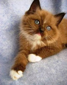 What an adorable chocolate coloured kitty!