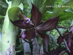 Cycnoches Herrenhusanum | Cuidado de orquídeas : Cycnoches - Orquideas del Peru