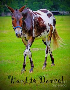 Appaloosa Mule Canvas Print / Canvas Art by Diana Tyson All The Pretty Horses, Beautiful Horses, Animals Beautiful, Cute Animals, Appaloosa Horses, Horses And Dogs, Draft Horses, Horse Pictures, Horse Love