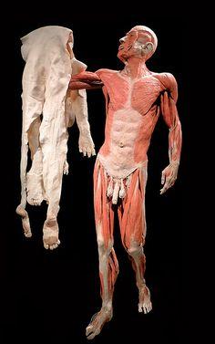 Gunther von Hagens, cadaveri e sculture plastinificati del Dottor Morte Vanitas, Gunther Von Hagens, Bodies Exhibit, Anatomy Study, Anatomy And Physiology, Human Anatomy, Gross Anatomy, Taxidermy, Macabre