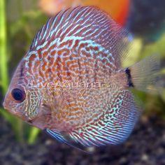 Snakeskin Discus. Cool freshwater fish.