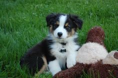 Jackson - Black Tri Aussie, 9 weeks...  I also once had an Australian Shepherd, Babe ..A wonderful dog who seemed to think she was my guardian angel...  she was the angel.