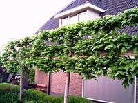 шпалерные деревья