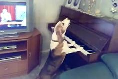 Dog Playing the Piano and Singing #video