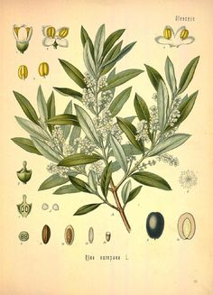 Olive, Olea europaea. Chromolithograph after a botanical illustration from Hermann Adolph Koehler's Medicinal Plants, edited by Gustav Pabst, Koehler, Germany, 1887