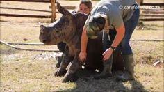 "For ""World Rhino Day"" here's baby Rhino Zac getting a cuddly wash"