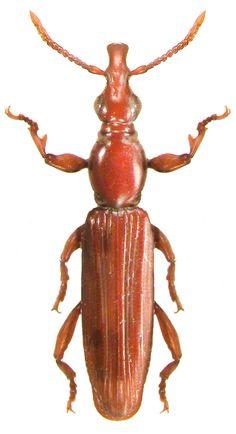 Cyphagogus praecipuus