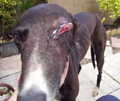 greyhound racing injuries - Google Search