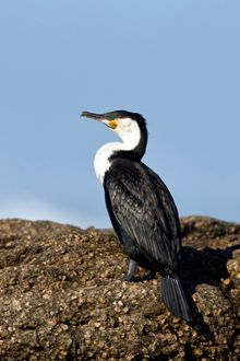 White-breasted Cormorant. A dramatic 4x4 trail along the West Coast in the Namaqua National Park offers abundant birdlife