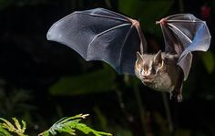 Being #vegetarian and mobile pays off for #bats living in tropical #fragmented landscapes - http://go.shr.lc/1LHjxOh