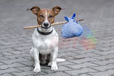 stock photo of homeless jack russell dog holding stick with clothes standing on pavement horizontal orientation