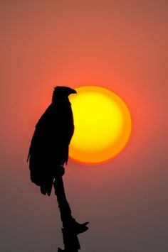 Eagle Sunset by Andrew Schoeman