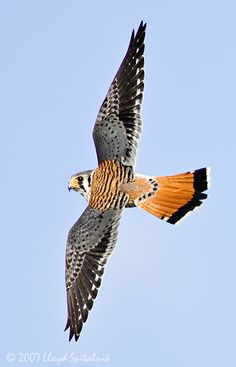 American Kestrel | Birds of Prey