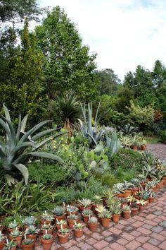 Agaves Galore!  Southwest Garden patio.
