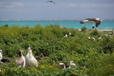 Laysan and short-tailed albatrosses at Northwest Hawaiian Islands National Monument