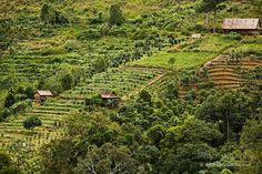 Coffee plantation in the central highlands of Vietnam near Dalat. Coffee is one of the provinces most important exports.