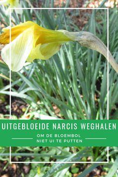Als de meeste soorten narcissen uitgebloeid zijn, wordt het tijd om de uitgebloeide stengels eruit te halen. Op die manier kan de bol energie bewaren voor volgend jaar, waardoor er dan meer bloemen uit komen. Gardening Tips, Om, Plants, Everything, Plant, Planting, Planets