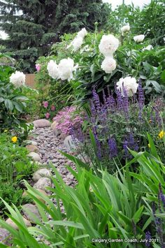 blue salvia, white peachleaf bellflower, pink peony, red painted daisy