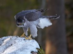 A large and powerful bird of prey, the northern goshawk was traditionally revered as a symbol of strength. Raptor Bird Of Prey, Birds Of Prey, Northern Goshawk, Bird Species, Bird Art, Bird Feathers, Beautiful Birds, Pet Birds, Bald Eagle