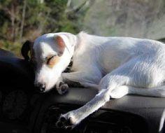 Sleepy Jack Russell