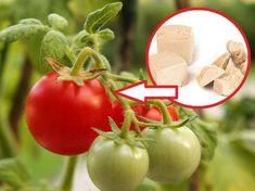 oprysk z drożdży na pomidory i ogórki