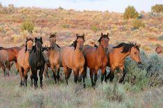 Kiger Wild Horses in eastern Oregon