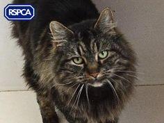 Mowglai, Domestic Longhair crossbreed cat, 6 Years, RSPCA East Norfolk Branch Pet Search, Sadie, Norfolk, 6 Years, Wildlife, Cats, Animals, Gatos, Animales