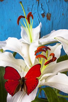 Red Butterfly On White Tiger Lily - Artist:Garry Gay
