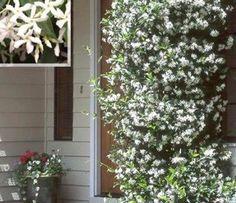 Mooie Toscaanse jasmijn: heeft witte, sterk fris-zoet geurende bloemen (mei-sept) met donkergroen glanzend blad dat in de winter groen blijft. Ook als de plant bevriest komt hij in het voorjaar weer terug met nieuwe ranken.