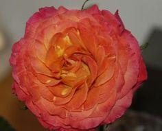 Sunset garden rose