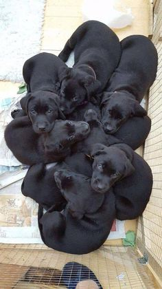 Mind Blowing Facts About Labrador Retrievers And Ideas. Amazing Facts About Labrador Retrievers And Ideas. Black Lab Puppies, Cute Puppies, Cute Dogs, Dogs And Puppies, Doggies, Cute Labrador Puppies, Corgi Puppies, Baby Puppies, Cute Baby Animals