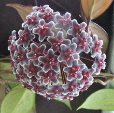 Pubicalyx Chimera Hoya. This is the most amazing flowering plant~