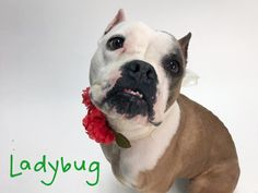 Bull-Boxer dog for Adoption in Sacramento, CA. ADN-409991 on PuppyFinder.com Gender: Female. Age: Adult